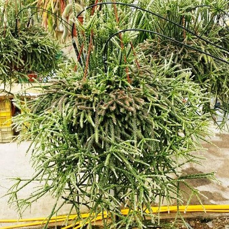 rhipsalis cruciformis 20 semillas frescas